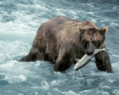 Alaskan Brown Bear and salmon