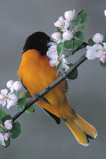 Baltimore Oriole on apple blossom
