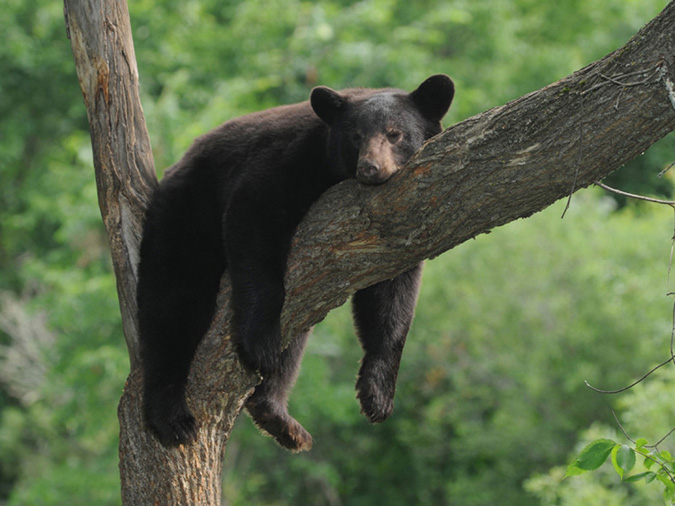 Hangin' Out Black Bear