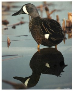 Blue-winged Teal (Reflection)