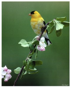 Goldfinch on apple blossom