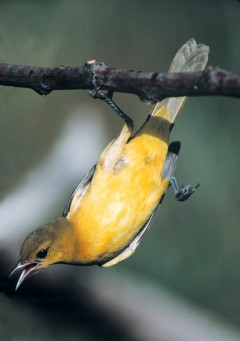 Hanging Oriole
