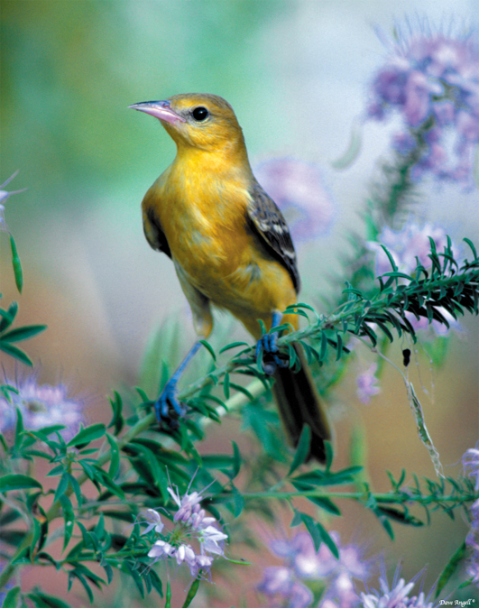 Orchard Oriole on purple flowers