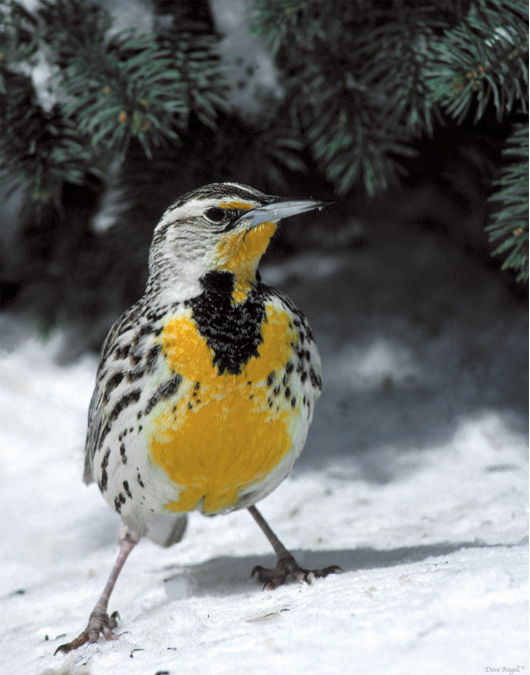 Western Meadowlark in snow