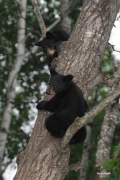 bear cubs 675