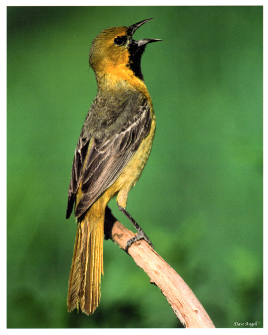 ist year Orchard oriole