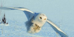 snowy owl honing in on a mouse with talons ready.