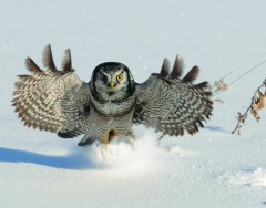 Hawk Owl - Having a hoot!