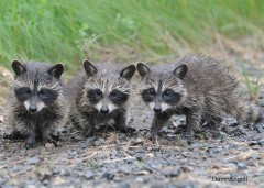 Raccoon triplets