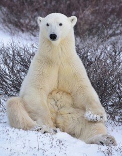 Polar Bear for web site