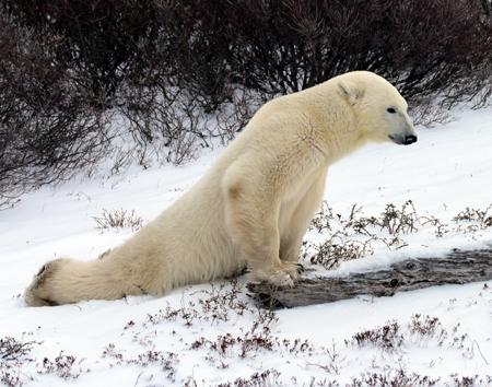 Yoga Bear for web site