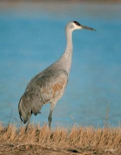 Sandhill Crane-standing