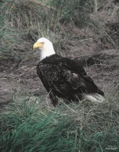 American Bald Eagle-Alaska
