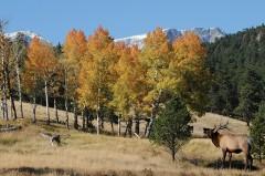 Bugling-Elk
