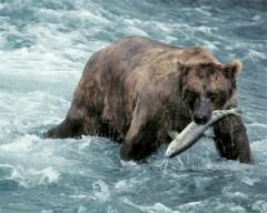 Alaskan Brown Bear and salmon