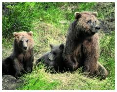 Brown Bear Sow & cubs