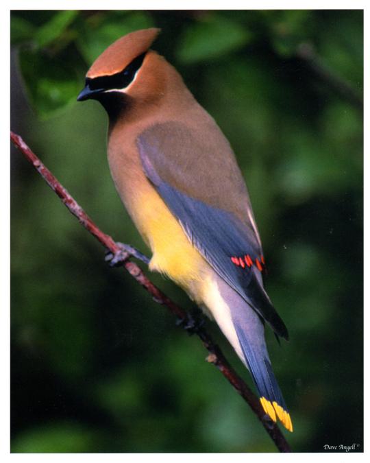 Cedar Waxwing - colorful