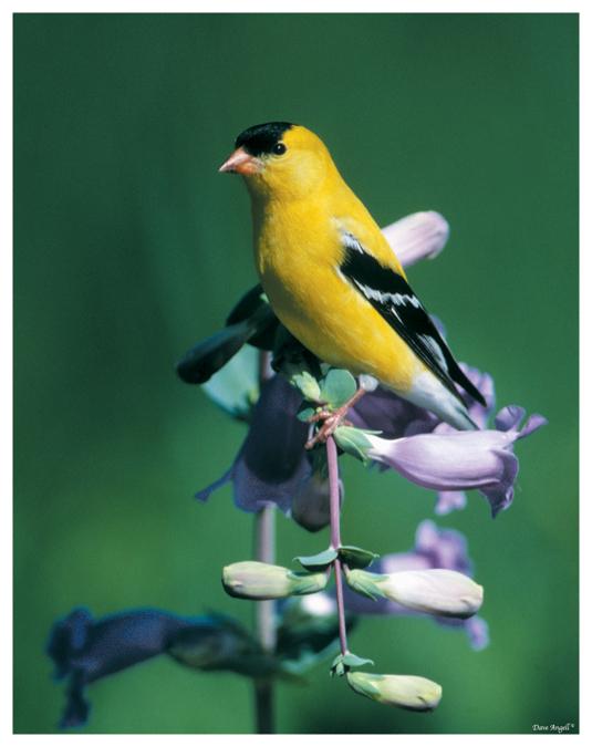 Goldfinch on Penstemon