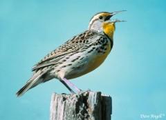 Western meadowlark singing