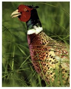 Ring-necked Pheasant