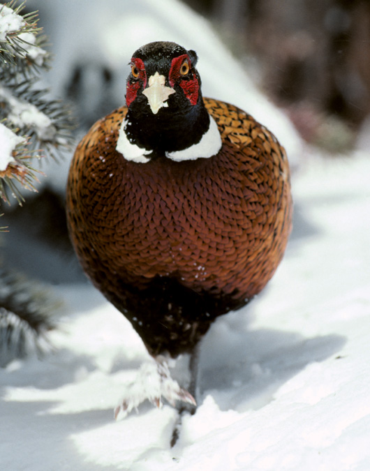 Ring-necked Pheasant in snow