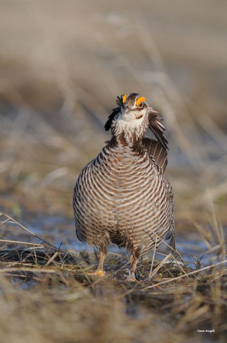 prairie chicken  head on