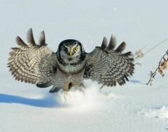 Hawk Owl - Having a hoot!