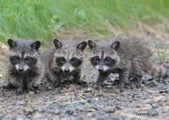 Raccoon triplets