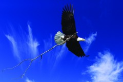 eagle with stick for web