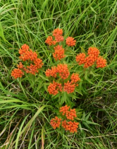 Butterfly Weed Cross for web site